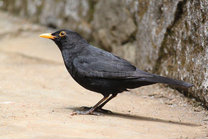 Common Blackbird Royalty Free Stock Image