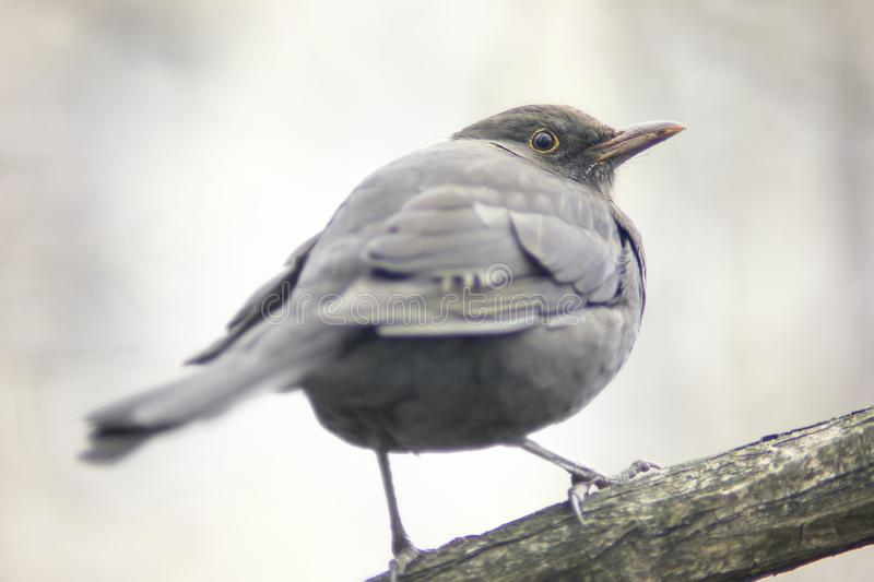 Common blackbird from the back stock photo
