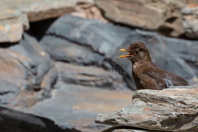 Blackbird chick. Common Blackbird chick Turdus merula stock photos