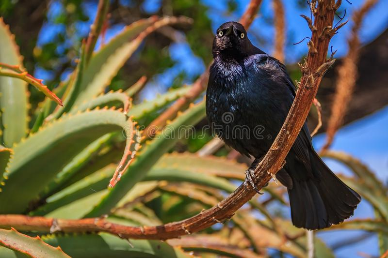 Common blackbird perched on an aloe flower stem in Monterey Cali stock photo