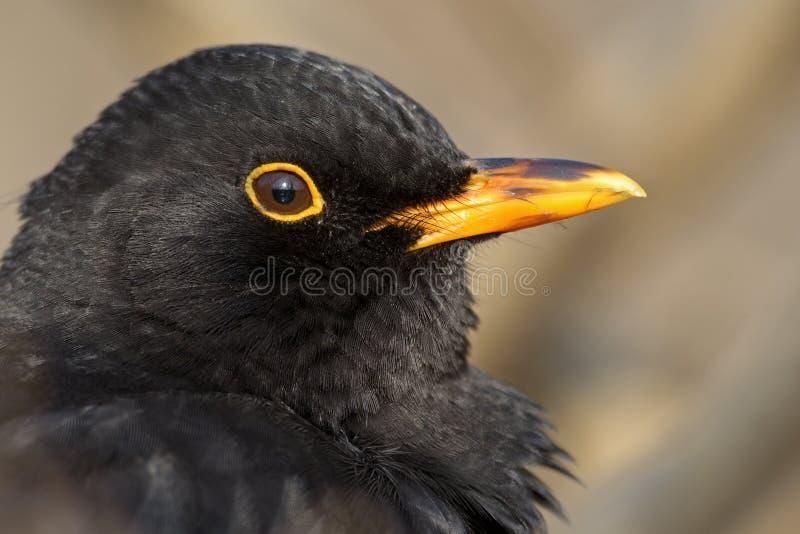 Common Blackbird stock image