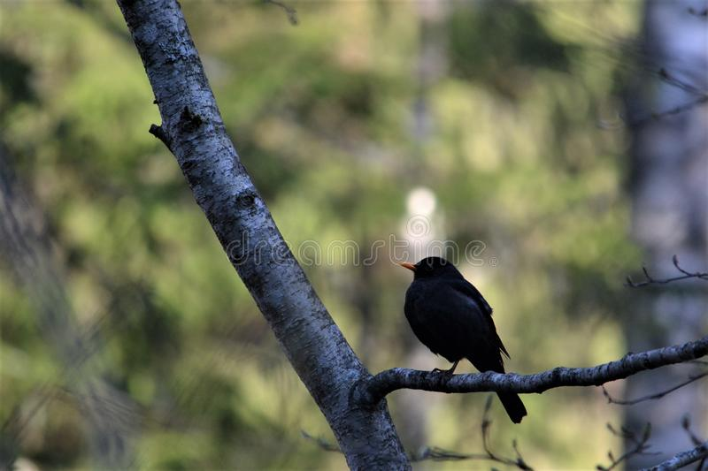 Common Blackbird - Turdus merula, in the spring forest. royalty free stock image