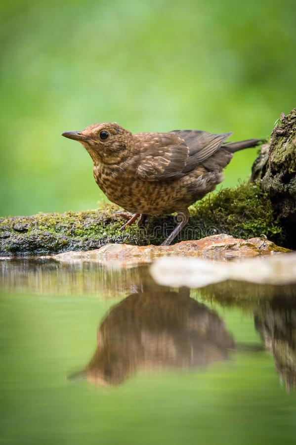 Common Blackbird is sitting at the waterhole in the forest royalty free stock images