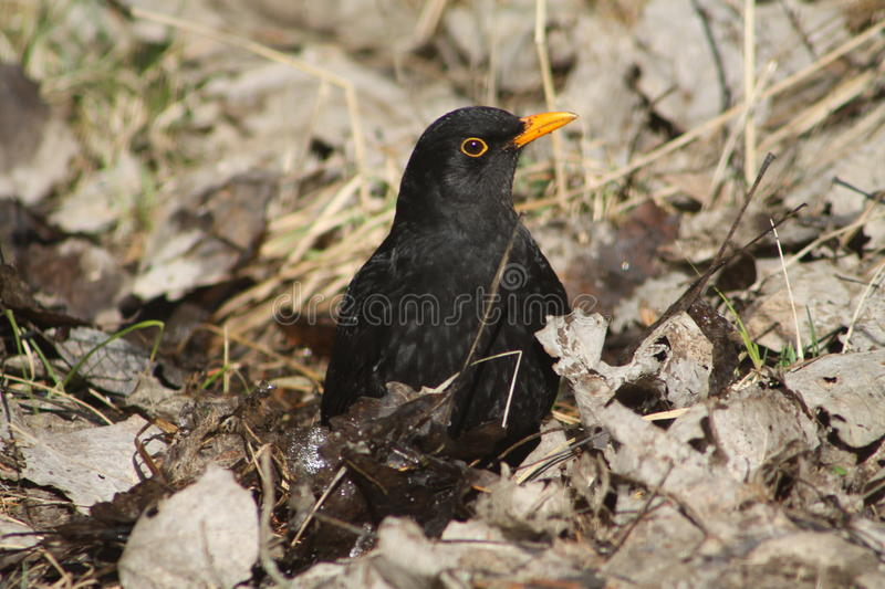 Common Blackbird. The common blackbird is a species of true thrush. It is also called Eurasian blackbird or simply blackbird, where this does not lead to royalty free stock image