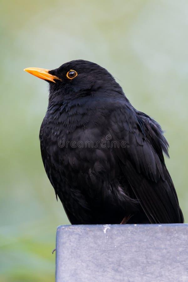 Common blackbird - Turdus merula. Bird common blackbird - Turdus merula royalty free stock image