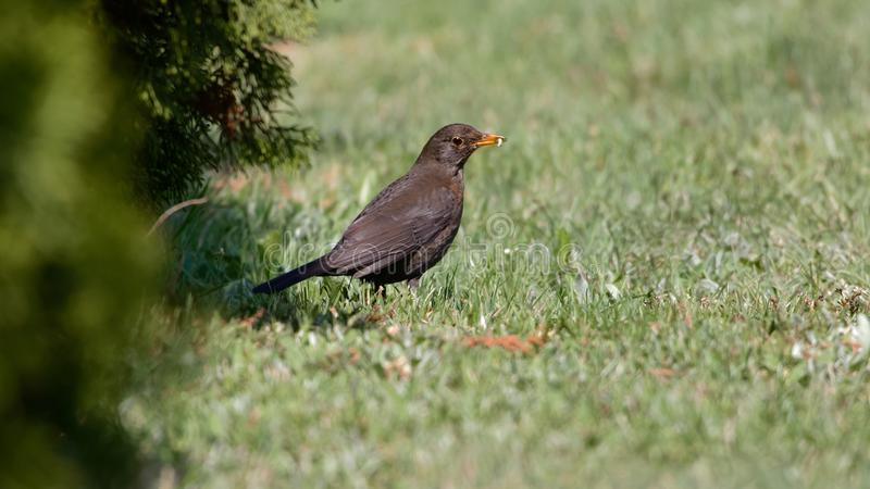 Common blackbird Turdus merula female royalty free stock images