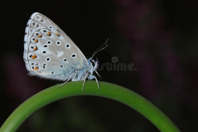 Common Blue Butterfly Perching on Green Stem in Close-up Photography stock image
