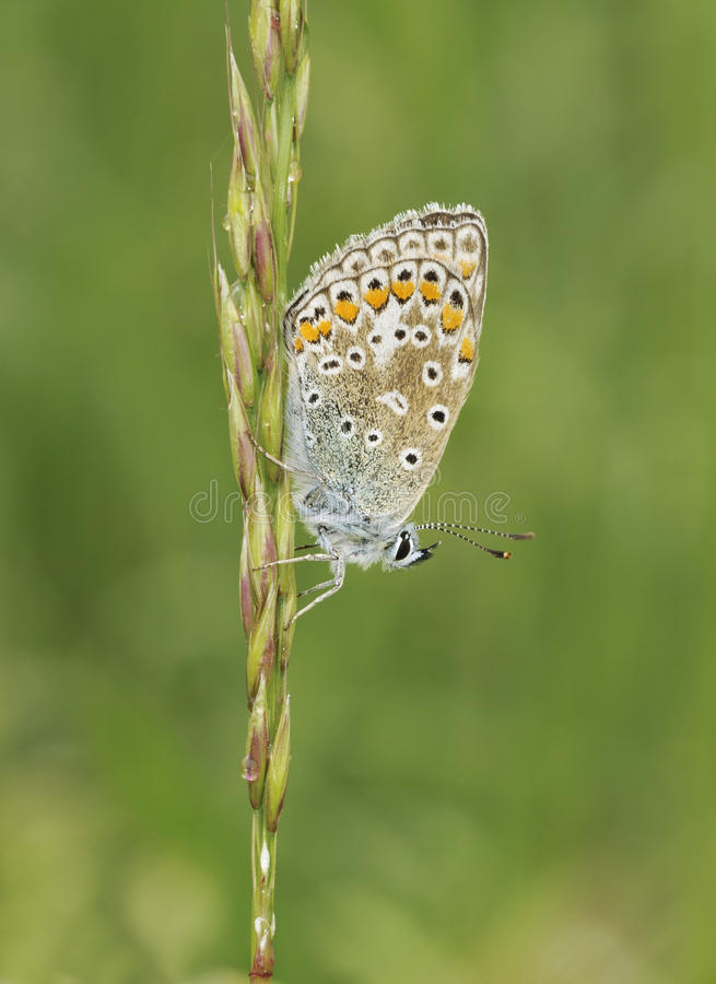 Download Common Blue Butterfly - Polyommatus Icarus Stock Image - Image of roost, stem: 11575079
