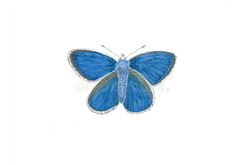 Common Blue Butterfly - Polyommatus Icarus royalty free stock image