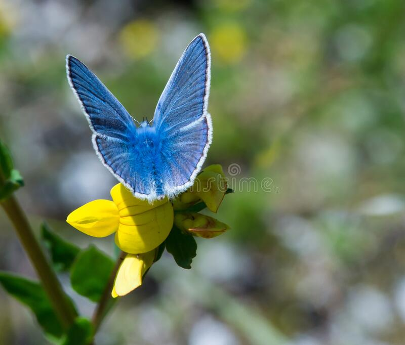 Common blue butterfly polyommatus icarus on yellow birdsfoot blossom lotus corniculatus. In alpine meadow with blurred bokeh background royalty free stock photos