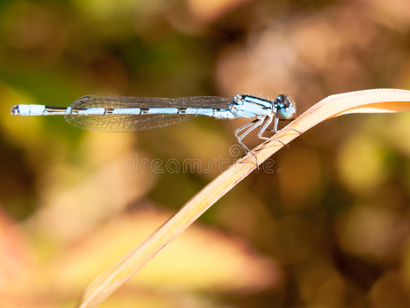Common blue damselfly Enallagma cyathigerum seen from side on re. Ed; England; UK stock photography