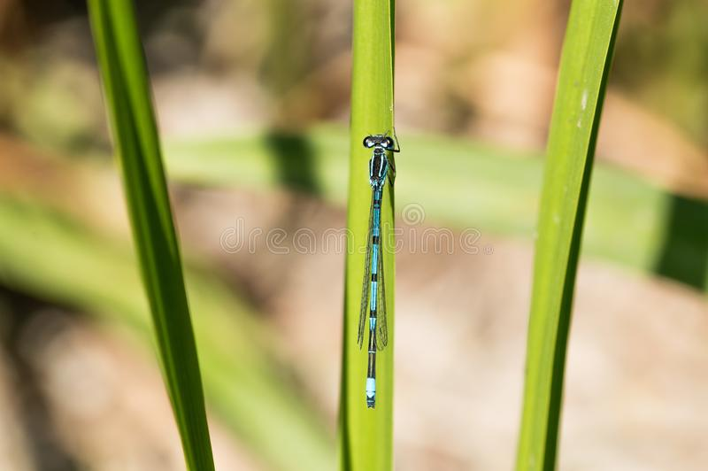 Common Blue Damselfly on Grass. At the side of a pond in a nature reserve royalty free stock image