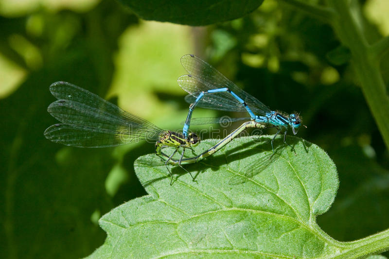 Download Common Blue Damselfly Mating Pair Stock Image - Image of blue, leaves: 12417647