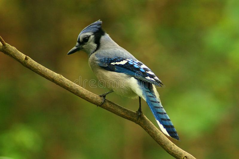 The common Blue Jay adds color wherever it goes in forest or garden. A Colorful Blue Jay on a Tree Branch stock images