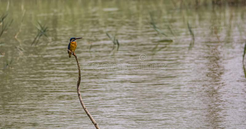 Common blue kingfisher on a branch. The smallest of all kingfishers monitoring the water for a catch - perched on the top of a water plant branch royalty free stock images