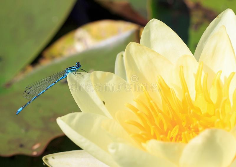 Macro of a blue and black striped damsel fly on the petal of a cream coloured water lily. Common Blue Male Damsel Fly Enallagma cyathigerum resting on a vibrant stock photography
