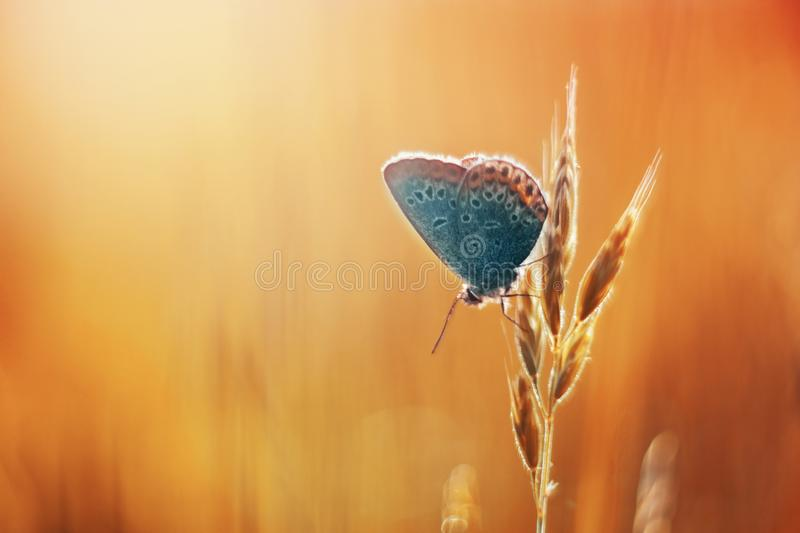 Common blue in orange gras royalty free stock images