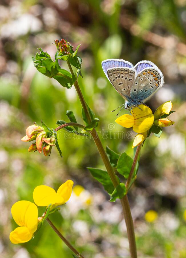 Common blue polyommatus icarus butterfly on a birdsfoot lotus corniculatus blossom. With blurred bokeh background; pesticide free environmental protection stock photos