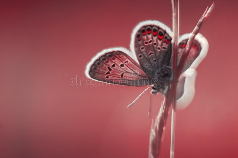 Common blue in red tones royalty free stock photos