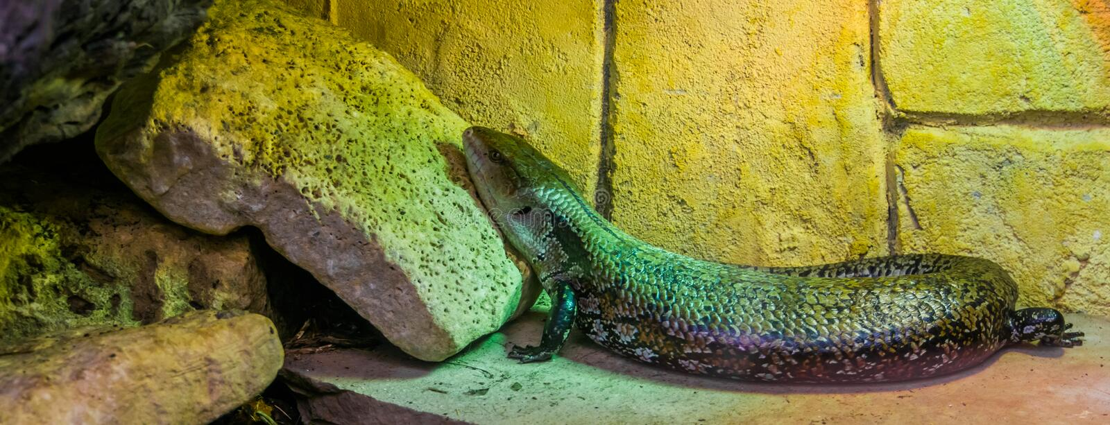 Common blue tongued skink in closeup, tropical lizard from Australia and Indonesia, popular pet in in herpetoculture. A common blue tongued skink in closeup royalty free stock photos