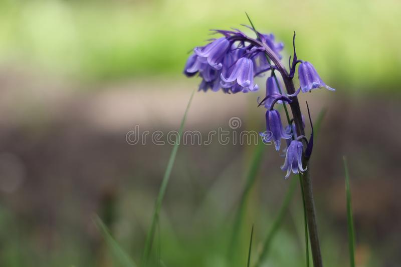 Common bluebell. Hyacinthoides non-scripta formerly Endymion non-scriptus or Scilla non-scripta is a bulbous perennial plant, found in Atlantic areas from north royalty free stock image