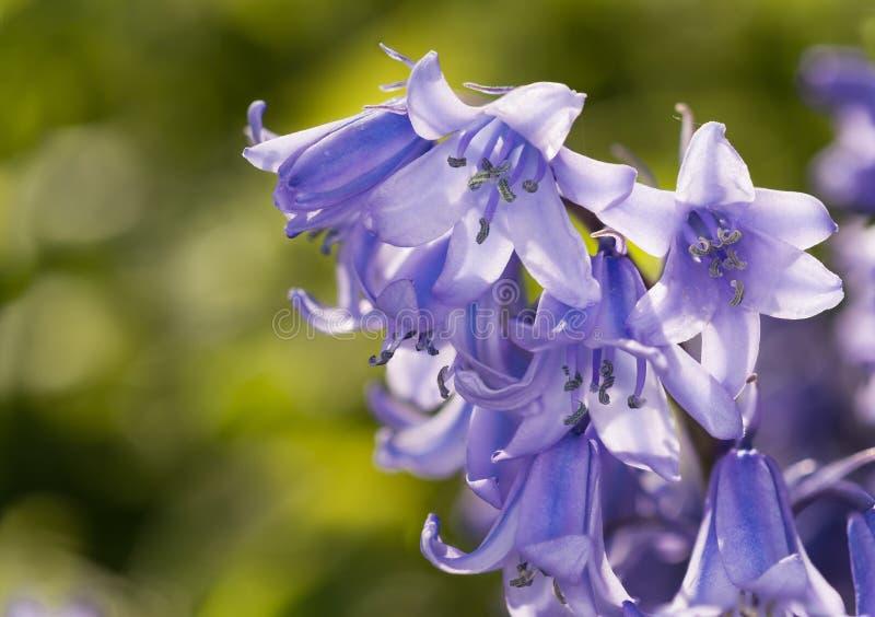 Common Bluebell. Hyacinthoides non-scripta, Bluebell on green bokeh stock image