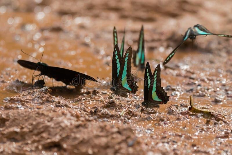 Common Bluebottle butterfly Blue triangle in greenish blue wing feeding on wet muddy ground. At Khao Yai, Nakhon Ratchasima, Korat, Thailand Graphium sarpedon stock photography
