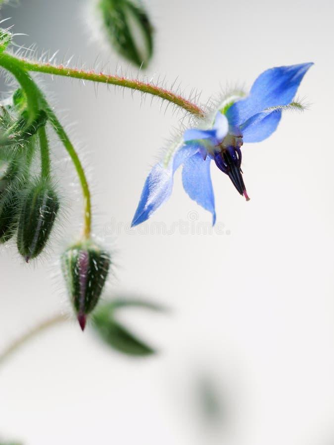 Free Common Borage Flower Stock Image - 17829721