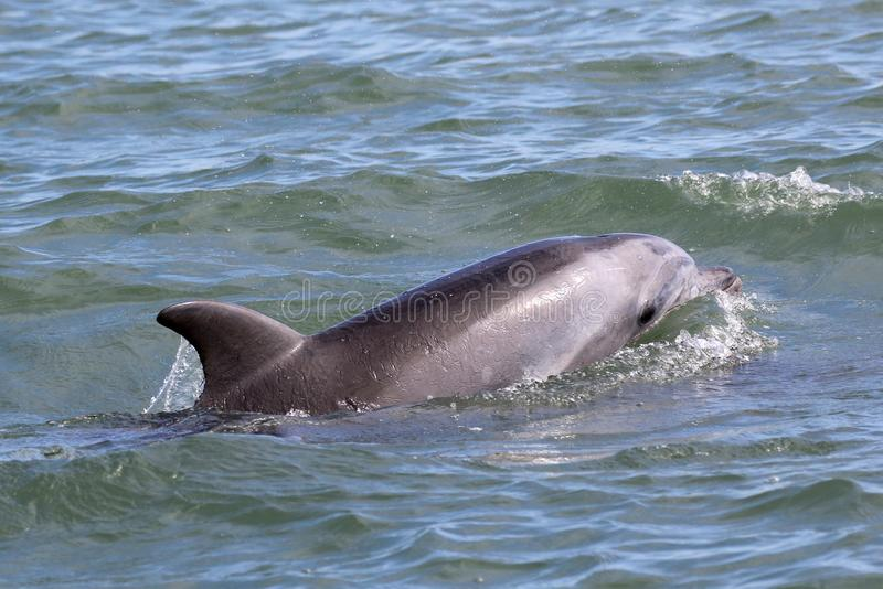 Common Bottlenose Dolphin Surfacing stock photography