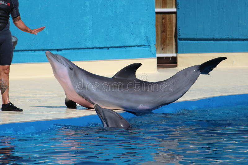 Common bottlenose dolphin royalty free stock photography