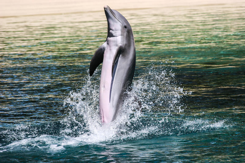 Common bottlenose dolphin playing