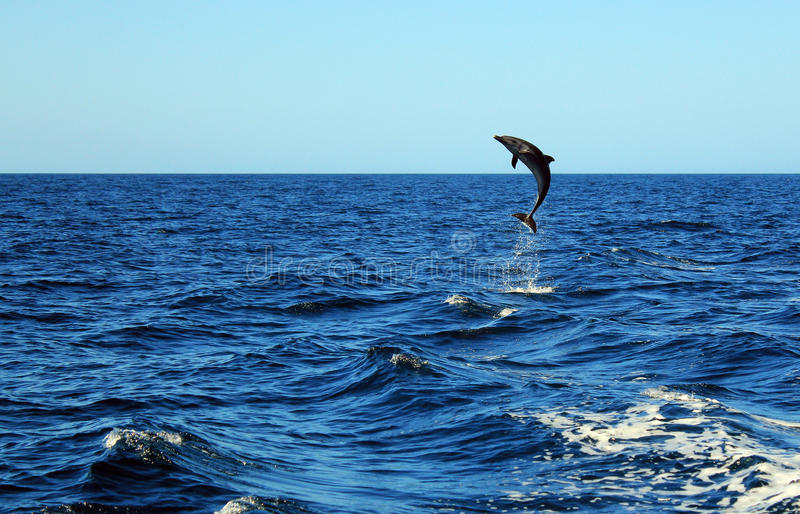 Common Bottlenose Dolphin. (Tursiops Truncatus) Taking a Big Jump out of the Water, Catalina Islands, Costa Rica royalty free stock photo