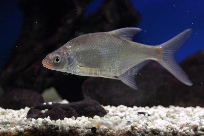 Common bream royalty free stock photography