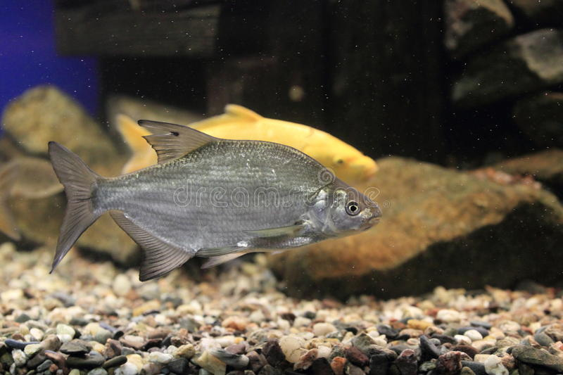 Common bream. The common bream floating in water royalty free stock photos