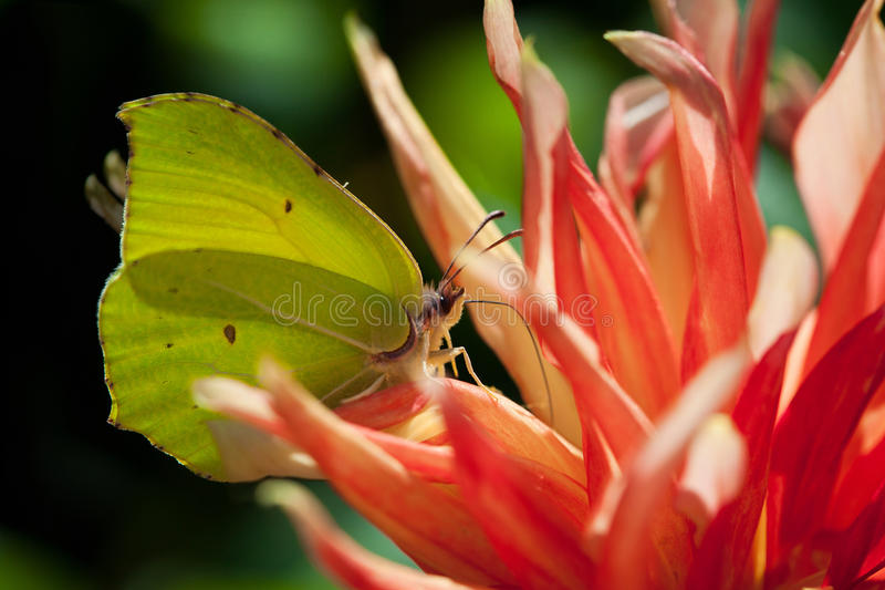 Common brimstone butterfly Gonepteryx rhamni. On a flower stock photos
