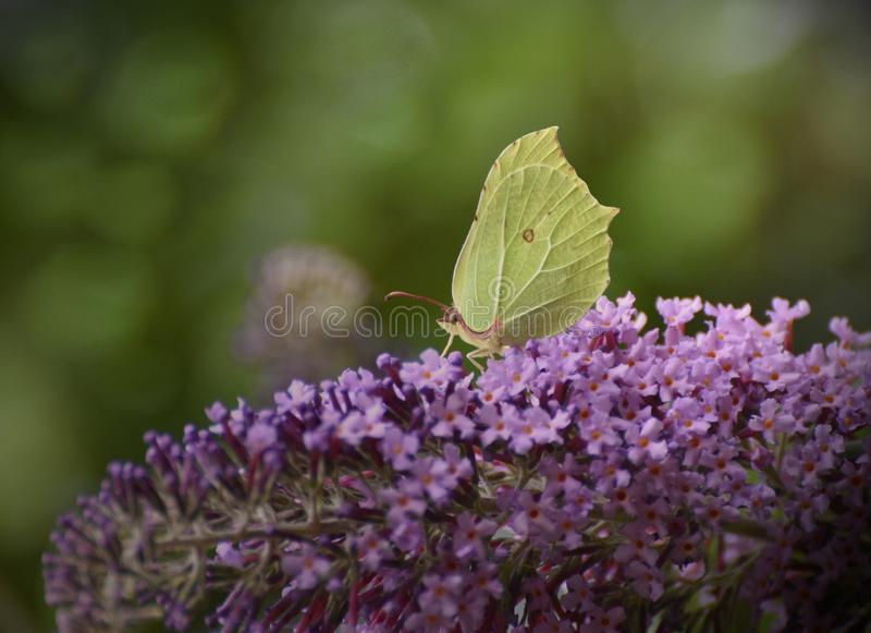Common Brimstone Butterfly Gonepteryx rhamni. A common brimstone yellow butterfly Gonepteryx rhamni feeding on a Buddleia flower in July in the UK royalty free stock photo