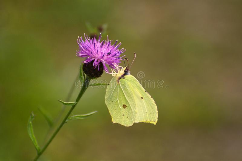 Common Brimstone Butterfly Gonepteryx rhamni. A common brimstone yellow butterfly Gonepteryx rhamni feeding on a thistle flower in July in the UK stock photography