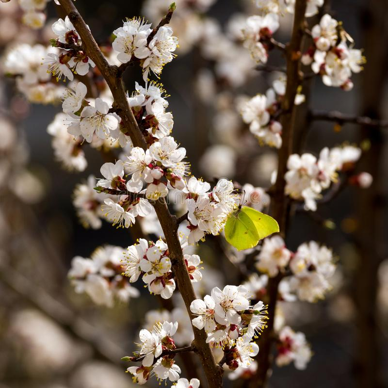 A common brimstone butterfly sits on a blossoming apricot tree. stock photo