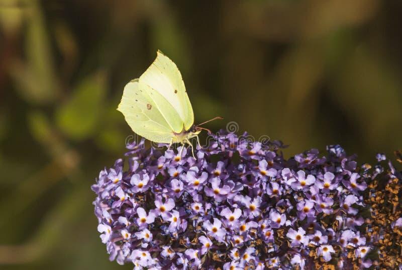 Common Brimstone. A close up image of the Common Brimstone Butterfly, Gonepteryx rhamni, feeding on a Budleia Bush, Tormarton, Gloucestershire, England. 24 July stock photos