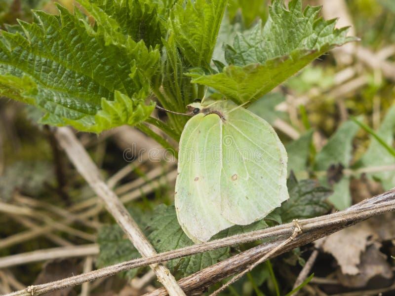Common Brimstone, Gonepteryx rhamni, butterfly hiding under leaves macro, shallow DOF, selective focus. Common Brimstone, Gonepteryx rhamni, butterfly hiding royalty free stock image