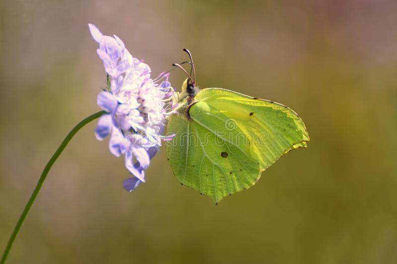Common Brimstone Yellow Butterfly in the UK. A common brimstone yellow butterfly Gonepteryx rhamni feeds on a corn flower in a wild flower meadow in the UK in royalty free stock images
