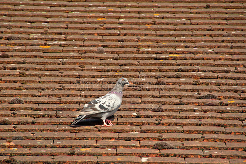 Common british pidgeon on roof tiles royalty free stock images
