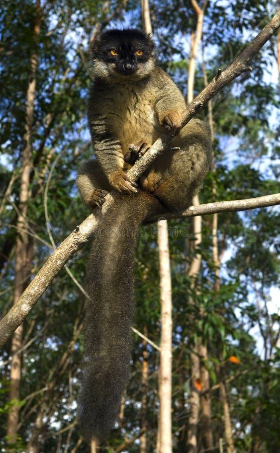 Common brown lemur royalty free stock image