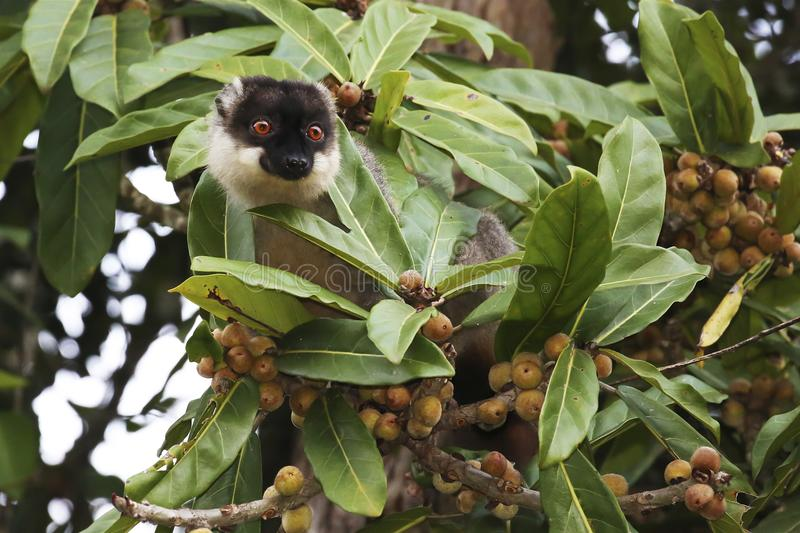 Common brown lemur on a fig tree in Madagascar. A common brown lemur takes a look around before eating close figs stock images