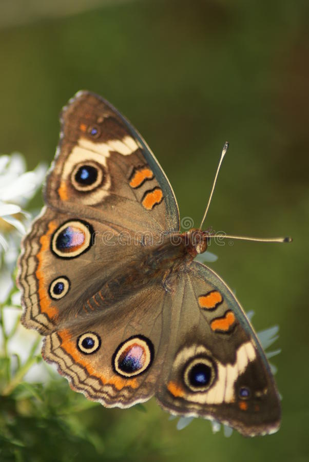 Free Common Buckeye Stock Photos - 19115103