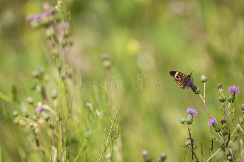 Common Buckeye butterfly feeds on a field filled with Spotted Knapweed on a summer morning stock photo