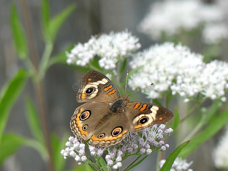 Common Buckeye Butterfly on a Late Blooming Thorough Wort Plant royalty free stock photography