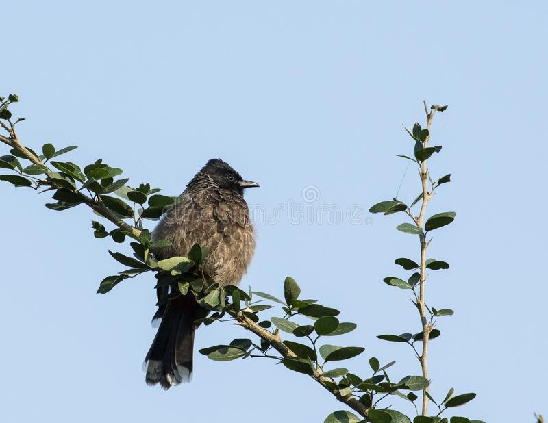 Common bulbul in brown color sitting on branch stock photo