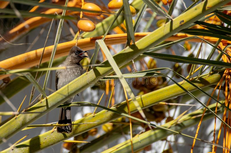Common bulbul Pycnonotus barbatus collecting yellow date fruit from tropical palm tree stock images