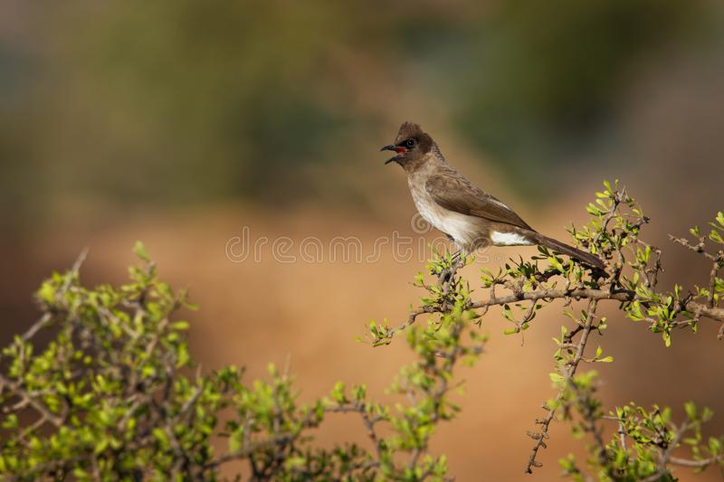 Common bulbul - Pycnonotus barbatus member of the bulbul family of passerine birds. It is found in north-eastern, northern, royalty free stock photography